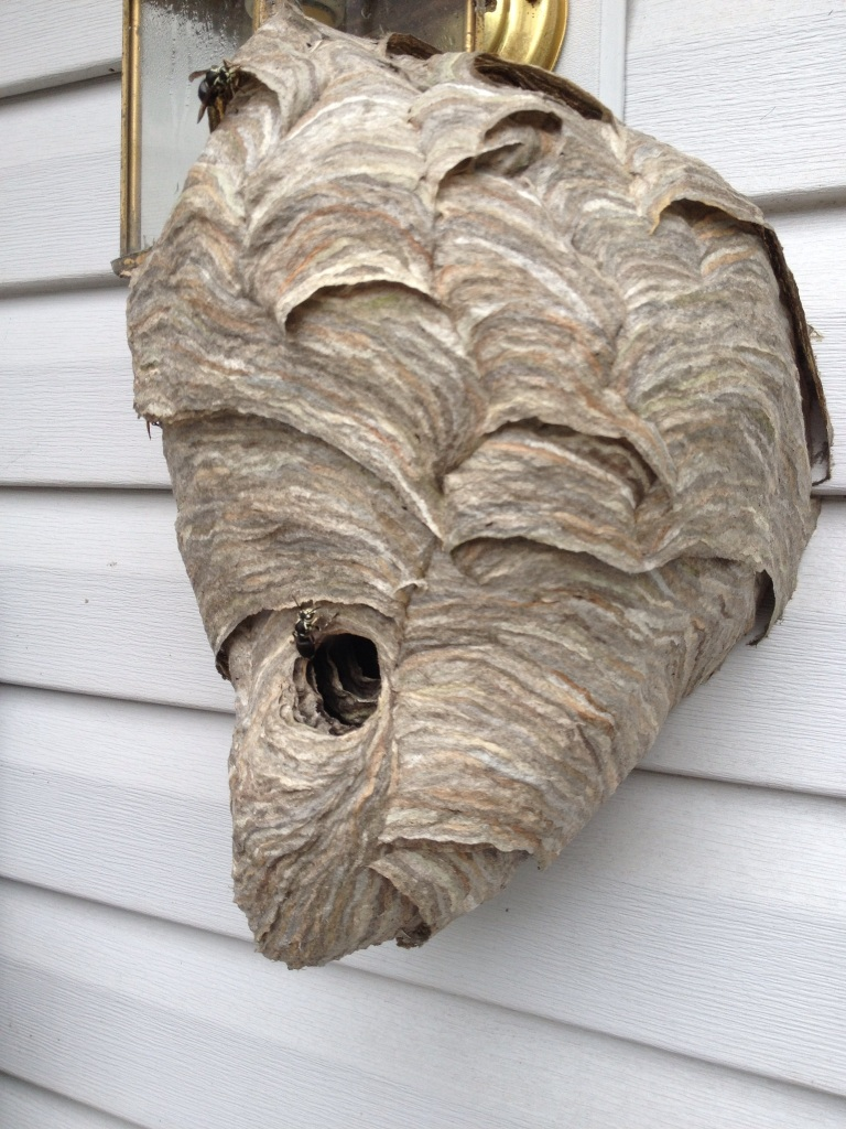 Bald-faced hornet nest affordably removed in Cumming GA